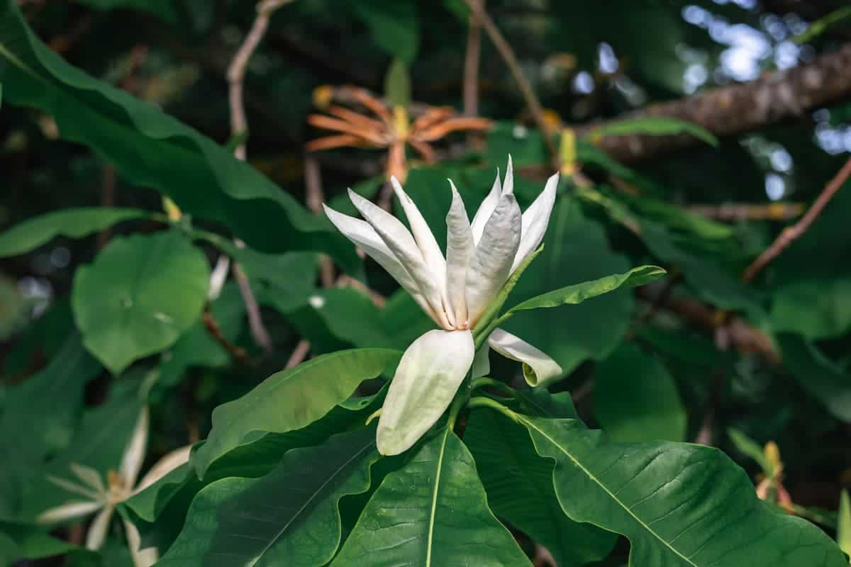 Büyük Yapraklı Manolya Bakımı