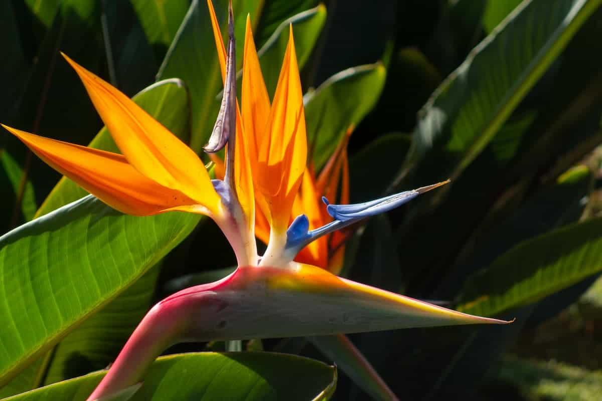 Cennet Kuşu Çiçeği Bakımı