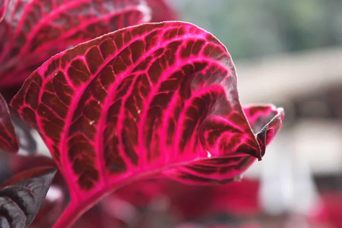Çingene Şalvarı Çiçeği