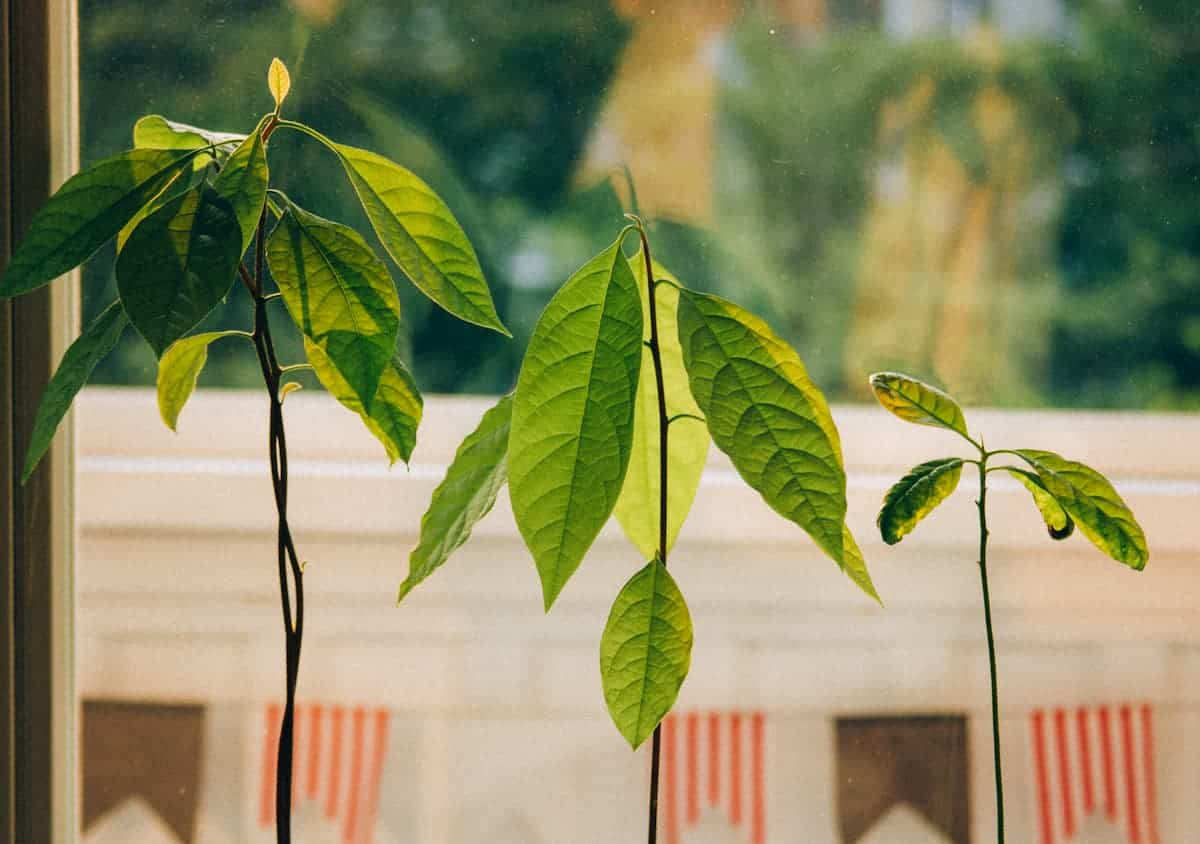 Evde Avokado Bitkisi Yetiştirme