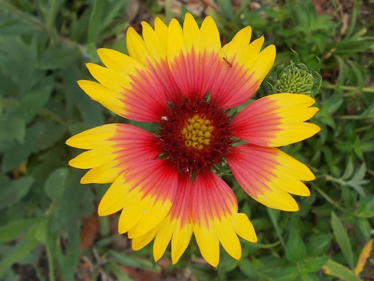Gayret Çiçeği Bakımı