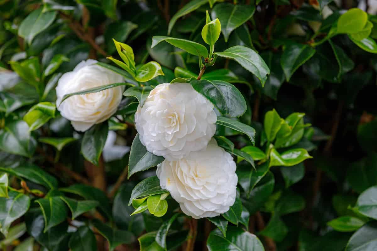 Kamelya Çiçeği Bakımı ve Anlamı