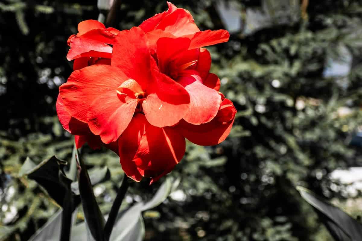 Kana Çiçeği Bakımı
