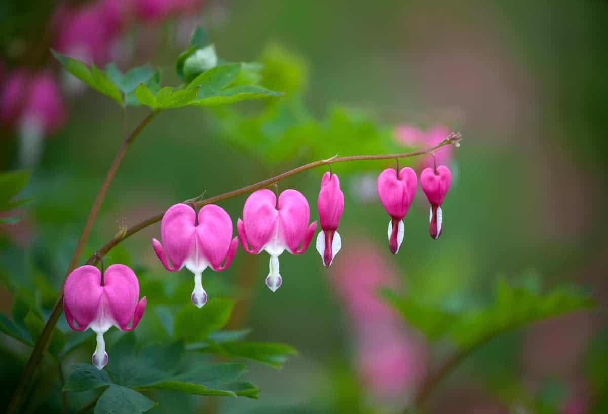 Kanayan Kalpler Çiçeği Bakımı