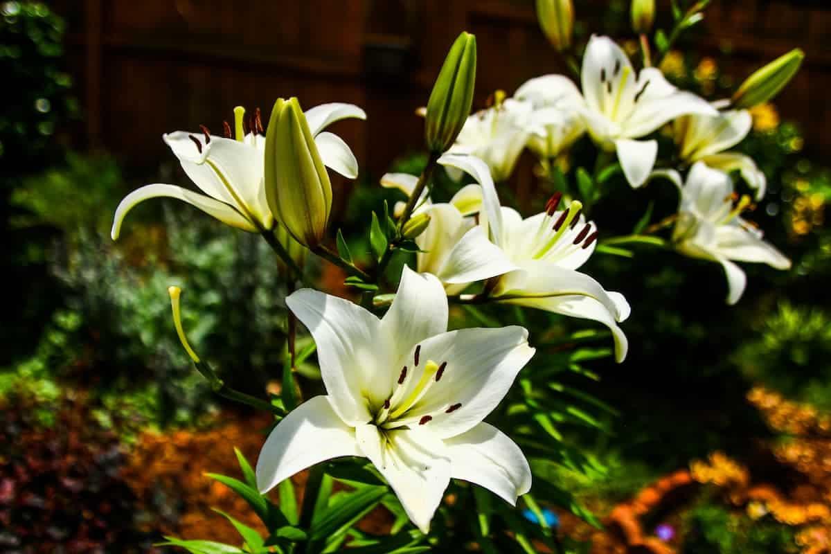 Kazablanka Çiçeği