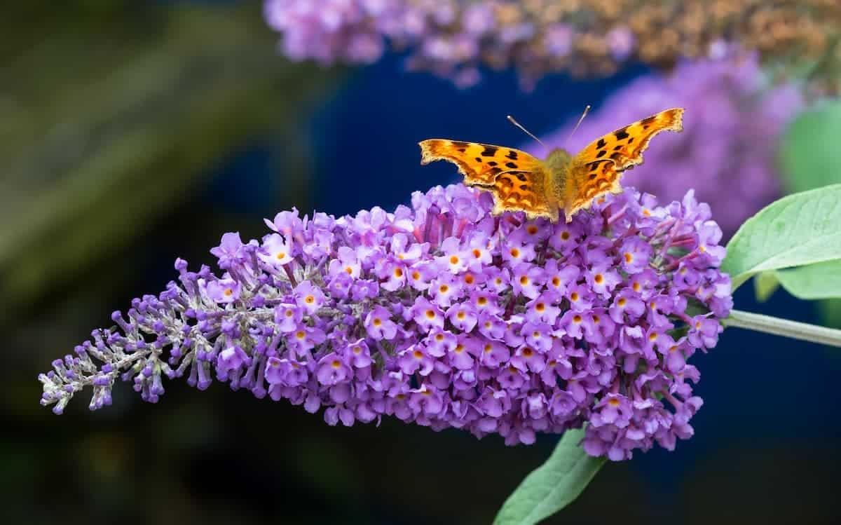 Kelebek Çalısı Yetiştirilmesi
