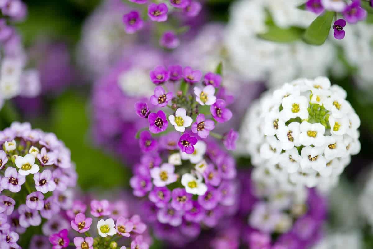 Kraliyet Halısı Çiçeği Bakımı
