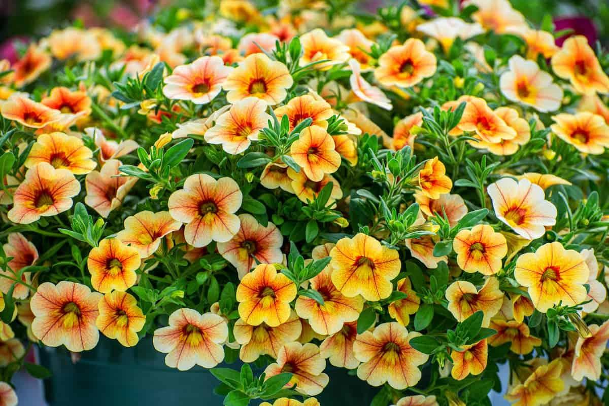 Milyon Çanlar Çiçeği Bakımı ve Yetiştirme