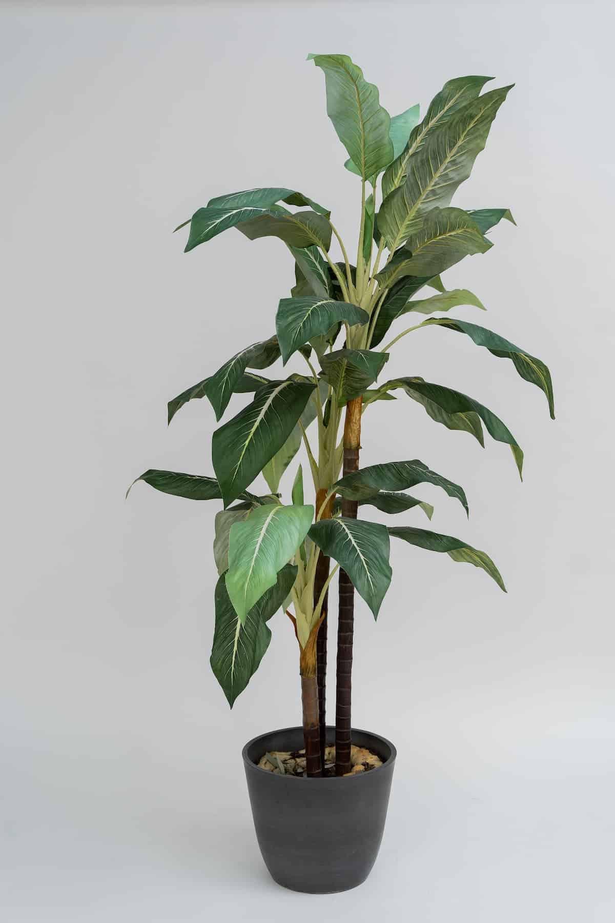Muz Ağacı Yetiştirme