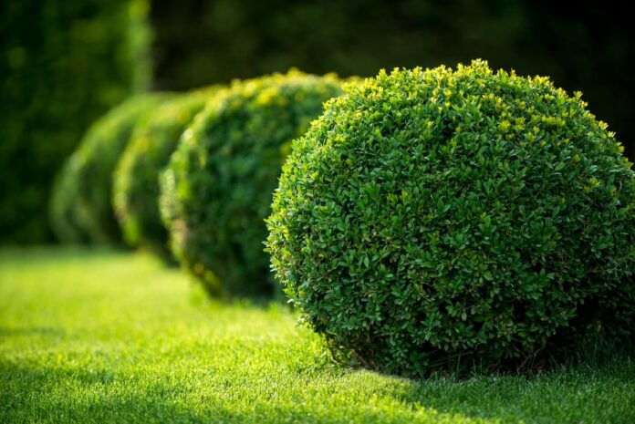 Şimşir Ağacı Özellikleri ve Bakımı