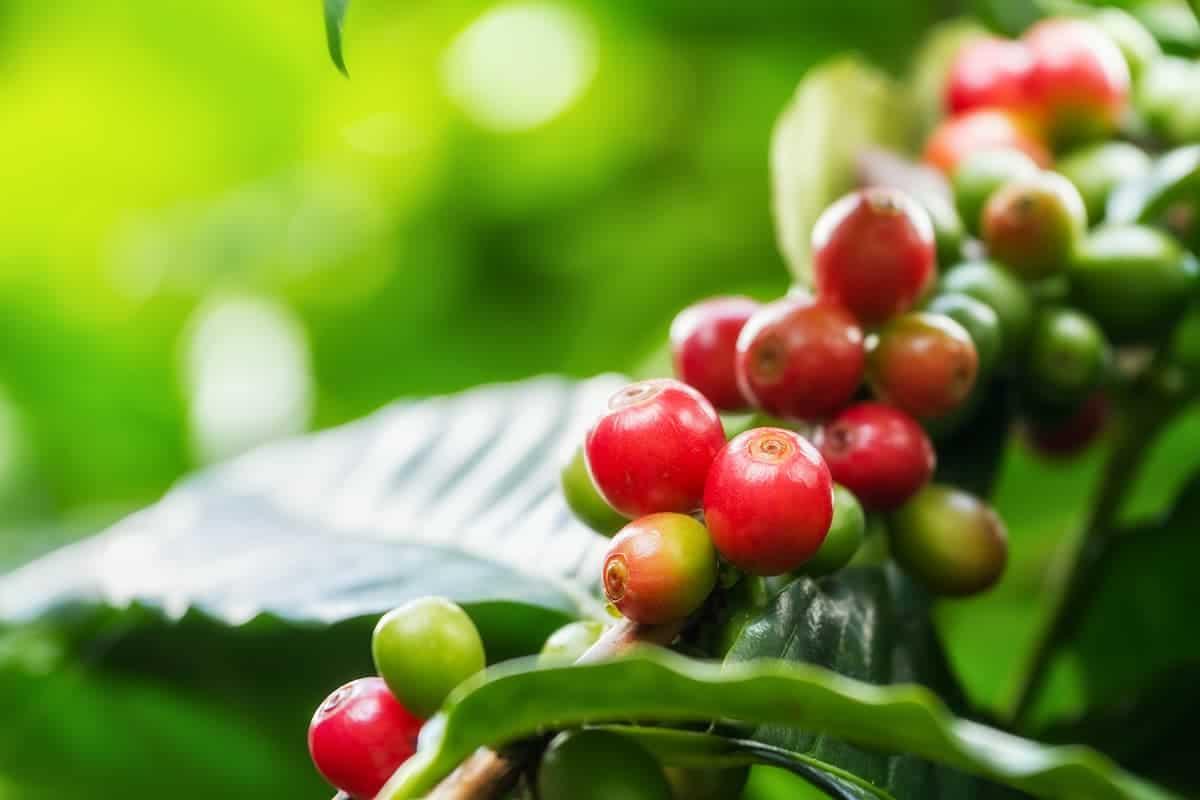 Kahve Ağacı Yetiştirme